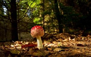 Red Mushroom - Obrázkek zdarma pro LG P700 Optimus L7