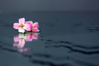 Pink Flowers On Water Picture for Android, iPhone and iPad
