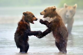 Funny Bears Wallpaper for Android, iPhone and iPad
