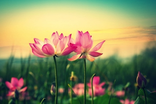 Pink Flowers At Sunset Wallpaper for Android, iPhone and iPad