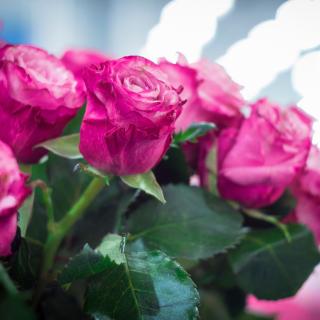 Pink Roses Bokeh - Obrázkek zdarma pro 320x320