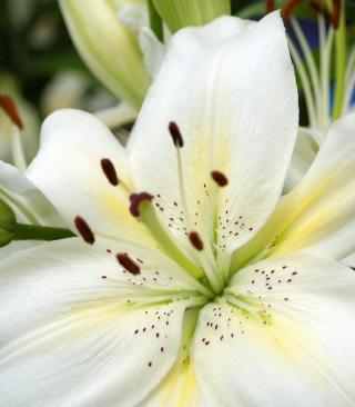 White Lilies - Obrázkek zdarma pro 480x640