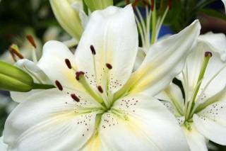 White Lilies - Obrázkek zdarma pro Samsung Galaxy Nexus