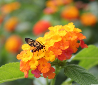 Bee On Orange Flowers - Obrázkek zdarma pro iPad mini