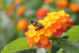 Free Bee On Orange Flowers Picture for Android, iPhone and iPad