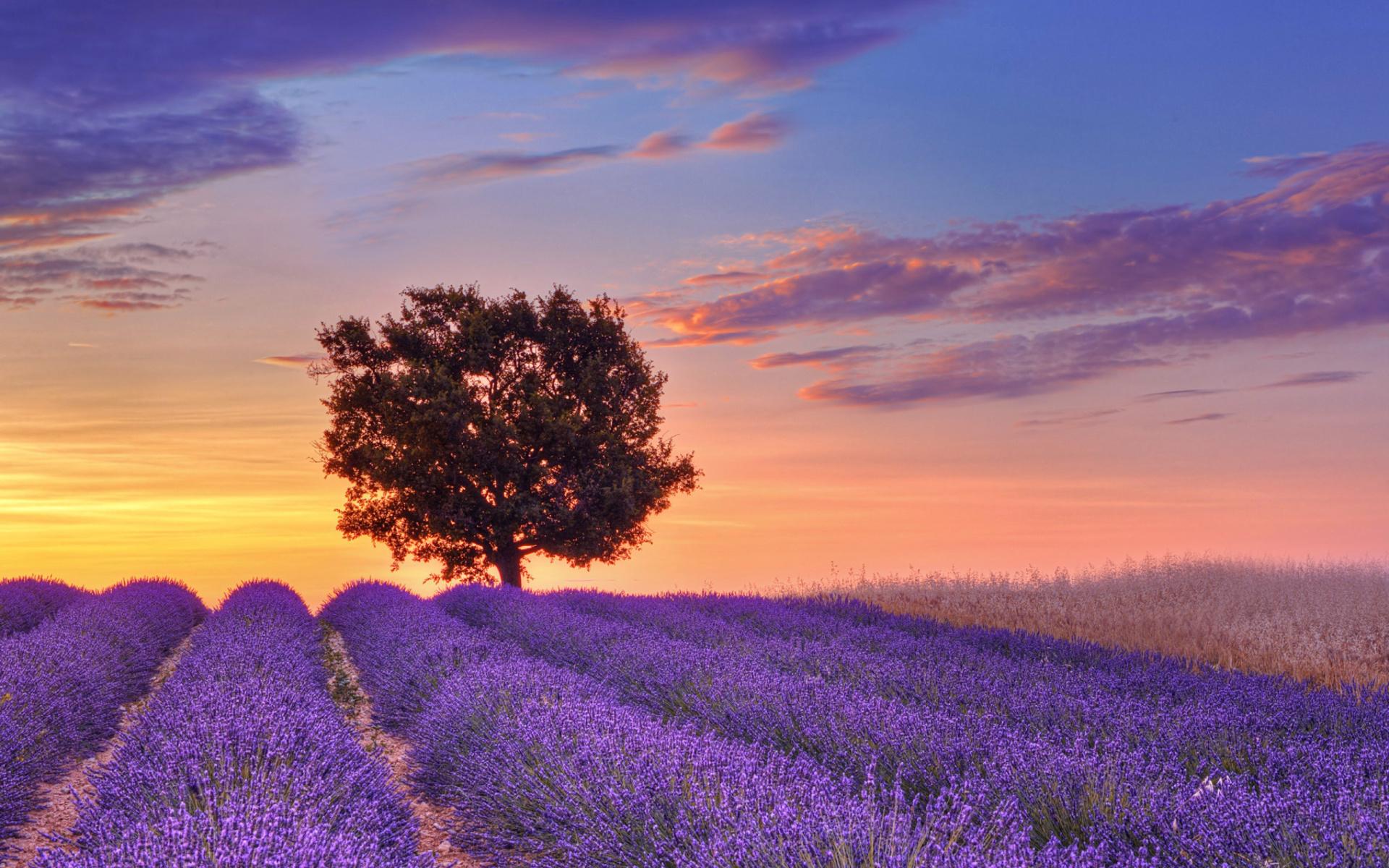 lavender field hd desktop - photo #21