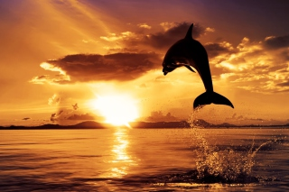 Dolphin Picture for Android, iPhone and iPad