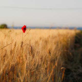 Wheat and Stack - Obrázkek zdarma pro 320x320