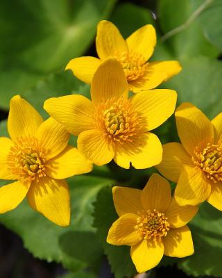 Yellow Flowers - Obrázkek zdarma pro iPhone 5C