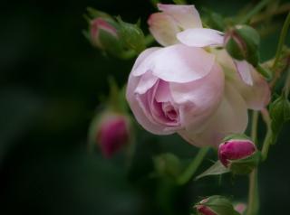 Light Pink Rose - Fondos de pantalla gratis Stub device