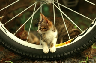 Taiwan Kitten Wallpaper for Android, iPhone and iPad