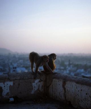 Monkeys - Obrázkek zdarma pro Nokia C2-05