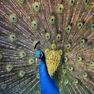 Beautiful Peacock - Obrázkek zdarma pro iPad mini