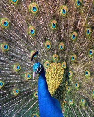 Beautiful Peacock - Obrázkek zdarma pro 640x1136