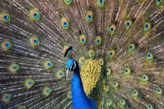 Beautiful Peacock Wallpaper for Android, iPhone and iPad