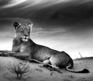Lioness - Obrázkek zdarma pro 1024x1024