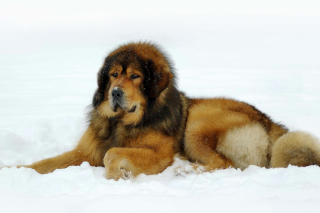 Dog Tibetan Mastiff Background for Android, iPhone and iPad