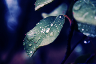 Rain Drops On Leaves Wallpaper for Android, iPhone and iPad