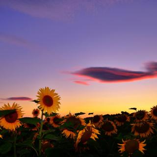 Sunflowers Waiting For Sun - Obrázkek zdarma pro iPad Air