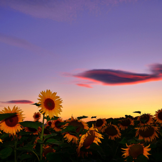 Sunflowers Waiting For Sun - Obrázkek zdarma pro 128x128