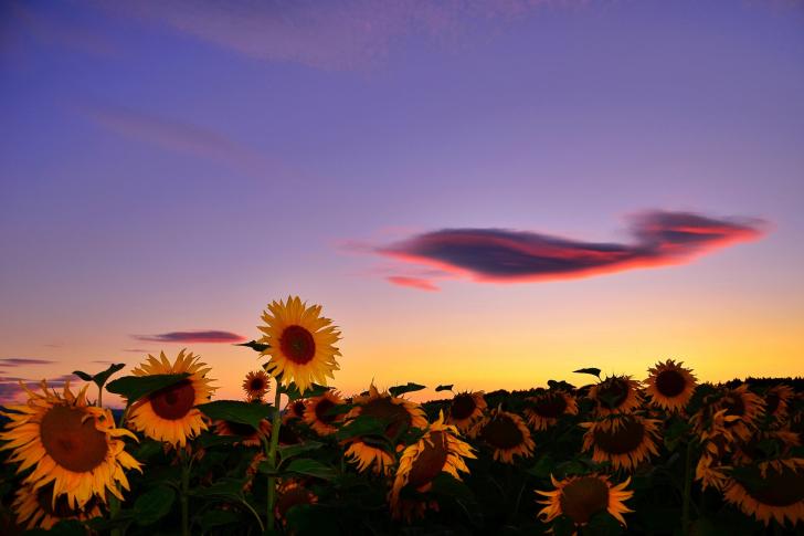 Sunflowers Waiting For Sun wallpaper