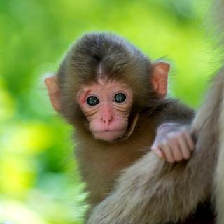 Monkey Baby - Obrázkek zdarma pro iPad mini 2