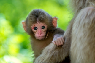 Free Monkey Baby Picture for Android, iPhone and iPad