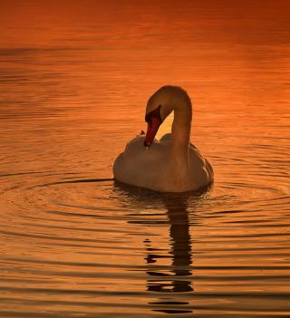 White Swan At Golden Sunset - Obrázkek zdarma pro iPad mini