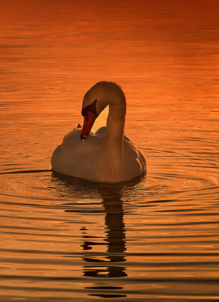 White Swan At Golden Sunset - Obrázkek zdarma pro Nokia Lumia 2520