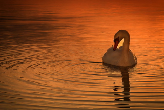White Swan At Golden Sunset - Obrázkek zdarma