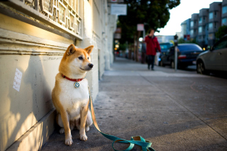 Akita Puppy Background for Android, iPhone and iPad