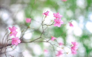 Free Pink Blossom Picture for Android, iPhone and iPad