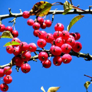 Red Berries - Obrázkek zdarma pro iPad 2