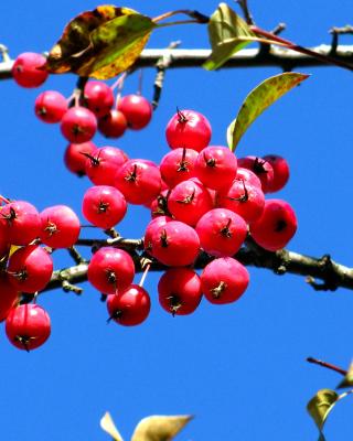 Red Berries - Obrázkek zdarma pro Nokia Lumia 810