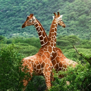 Giraffes in The Zambezi Valley, Zambia - Obrázkek zdarma pro 208x208