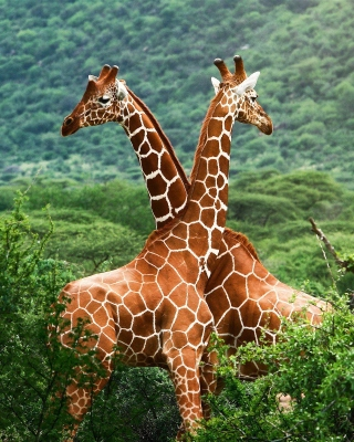 Giraffes in The Zambezi Valley, Zambia - Obrázkek zdarma pro 352x416