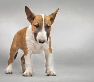 Bull Terrier - Obrázkek zdarma pro iPad mini