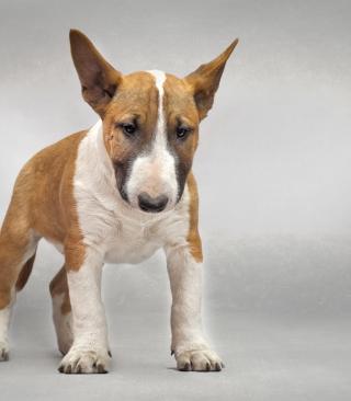 Bull Terrier - Obrázkek zdarma pro Nokia Asha 300