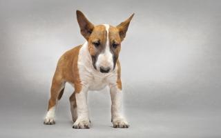 Bull Terrier - Obrázkek zdarma pro Nokia Asha 201