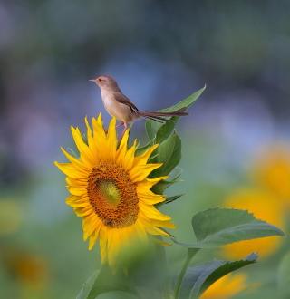 Sunflower Sparrow - Obrázkek zdarma pro 320x320