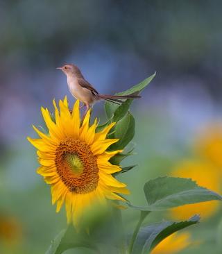 Sunflower Sparrow - Obrázkek zdarma pro Nokia X2-02