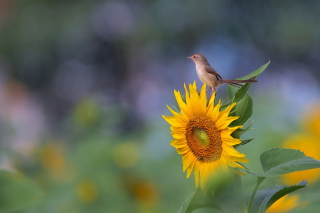 Sunflower Sparrow - Obrázkek zdarma pro Fullscreen Desktop 1600x1200