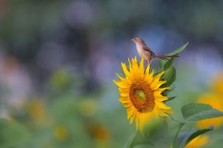 Sunflower Sparrow - Obrázkek zdarma pro 1400x1050