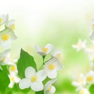 Jasmine delicate flower - Obrázkek zdarma pro 1024x1024