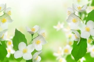 Jasmine delicate flower - Obrázkek zdarma pro 480x360