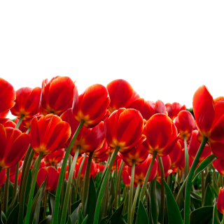 Red Tulips - Obrázkek zdarma pro 1024x1024