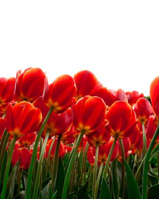 Red Tulips - Obrázkek zdarma pro Nokia C2-02