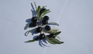 Olive Branch With Olives - Obrázkek zdarma pro Nokia X2-01