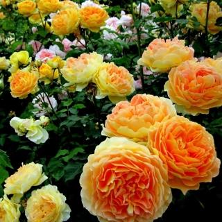 Rosebush - Obrázkek zdarma pro 320x320