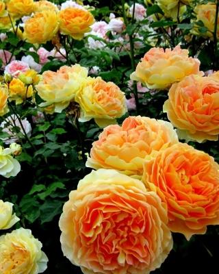 Rosebush - Obrázkek zdarma pro 360x480